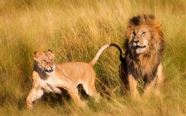 Two lions, grass, Africa