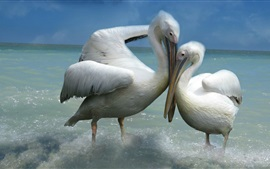 Preview wallpaper Two pelicans, love, sea