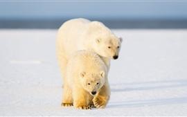 Two polar bears walk on the snow