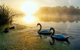 Dois, cisnes, rio, manhã, nevoeiro