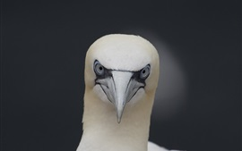 Preview wallpaper White bird, head, eyes, beak, gannet