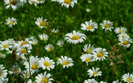 Preview wallpaper White chamomile flowers, grass, spring