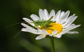 Preview wallpaper White flower, petals, grasshopper, chamomile