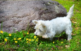 White furry dog, yellow flowers