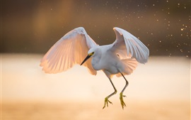 Preview wallpaper White heron, flight, wings