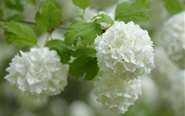 Preview wallpaper White hydrangea, inflorescence