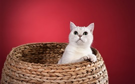 Preview wallpaper White kitten, basket, red background