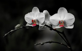Phalaenopsis branco, fundo preto