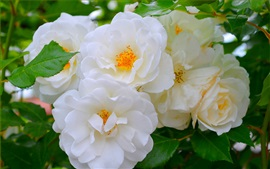 Preview wallpaper White roses, flowers, spring