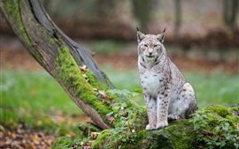 Preview wallpaper Wild cat, lynx, trees, moss