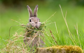 Preview wallpaper Wild rabbit eat grass