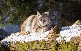 预览壁纸 野猫,猞猁,雪,休息