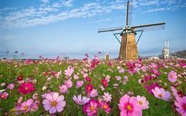 Moinho de vento, grama, flores rosa kosmeya