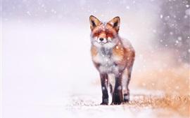 Inverno, raposa, vista dianteira, neve