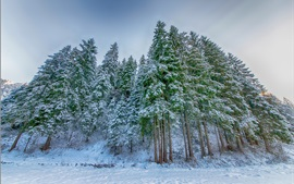 Preview wallpaper Winter, spruce forest, snow