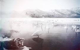 Inverno, cisnes brancos, lago, neve, nevoeiro