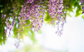 Preview wallpaper Wisteria, flowers, spring