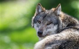Волк оглядывается назад, отдыхает
