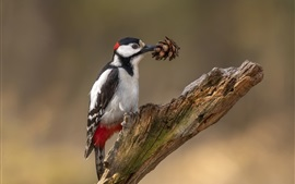 Preview wallpaper Woodpecker, bird photography