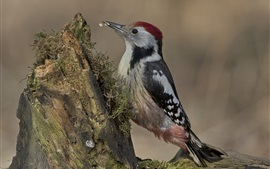 Preview wallpaper Woodpecker, stump