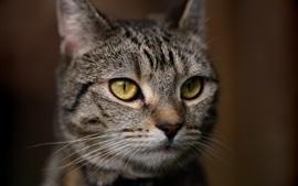 Желтый глаз вид кошки спереди, серый