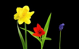 Preview wallpaper Yellow narcissus, red tulip, blue viper onion, flowers, black background