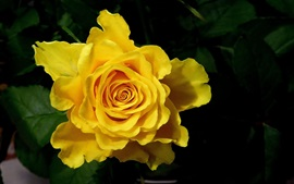 Yellow rose macro photography