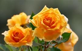 Yellow roses macro photography