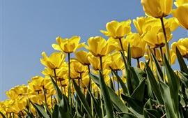 Preview wallpaper Yellow tulips, blue sky