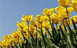 Tulipas amarelas, céu azul