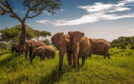 Preview wallpaper Africa, Tanzania, elephants, grass