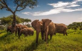 África, Tanzânia, elefantes, grama