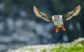 Preview wallpaper Atlantic puffin flight, wings