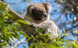 Preview wallpaper Australia, koala, wildlife