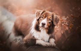 Pastor australiano, cão, procure