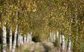 Autumn, birch, trees, twigs, leaves, path