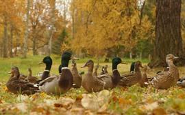 Autumn, ducks