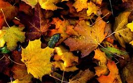 Otoño, hojas de arce amarillas, gotas de agua