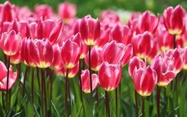 Hermosos tulipanes de color rosa