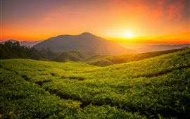 Beautiful tea garden, hills, sunrise