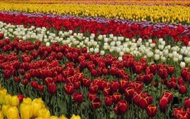 미리보기 배경 화면 아름 다운 튤립 필드, 노란색, 빨간색, 흰색, 보라색 꽃