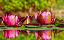 Preview wallpaper Beautiful water lily, pink flowers, water, pond
