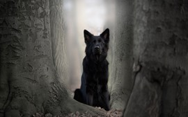 Black dog, German shepherd