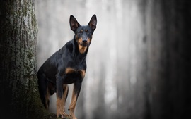 Черная собака, лес, боке