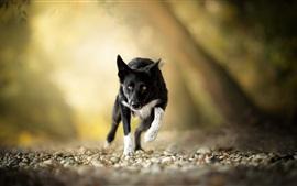 Черная собака работает, желтые глаза, камни