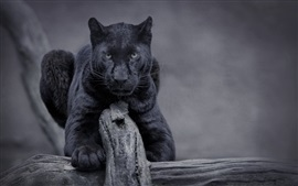 Preview wallpaper Black panther, wildlife, front view