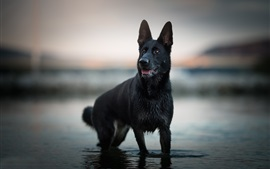 Preview wallpaper Black shepherd dog standing in water