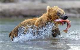 Brown bear catch a fish, water, splash