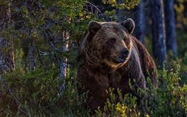 Urso pardo na floresta, arbustos