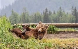 Brown bear play on the grass